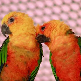 Sun Conure Parrot by Golam Kibria Sumon - Animals Birds ( bangladesh, nature, birds, animal,  )