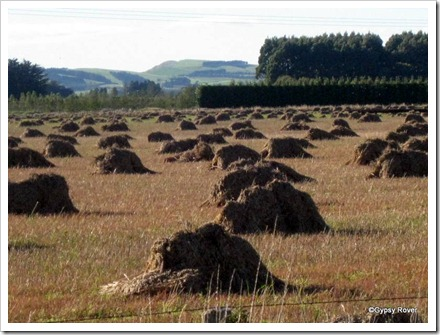 A rare sight these days. Wheat sheaves stacked up across the paddock.