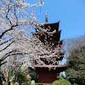 千葉県 法華経寺と桜(JP040) icon