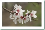 An-almond-tree-branch