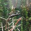 African Twig Mantis