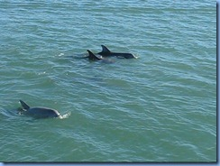 6943a Texas, South Padre Island - Osprey Cruises - Sea Life Safari  - Atlantic Bottlenose Dolphin