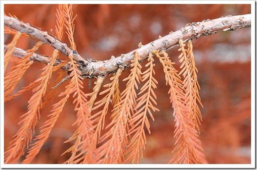 120102_brown_bald_cypress