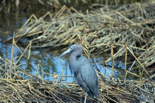 South Padre little Blue Heron