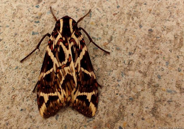 Arctiinae : Phaegoptera histrionica (HERRICH-SCHÄFFER, [1853]). Environs de Curitiba, Paraná. 6 juillet 2012. Photo : Mauricio Skrock