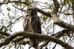 Great Horned Owl  Palacios Texas