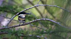 Green Kingfisher Frontera