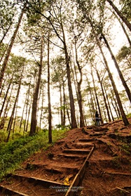 Baguio's Pine Forest