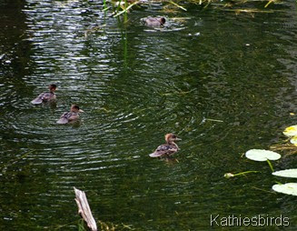 3. hen and ducklings-kab