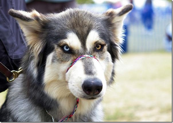 3_husky.img_assist_custom-600x424