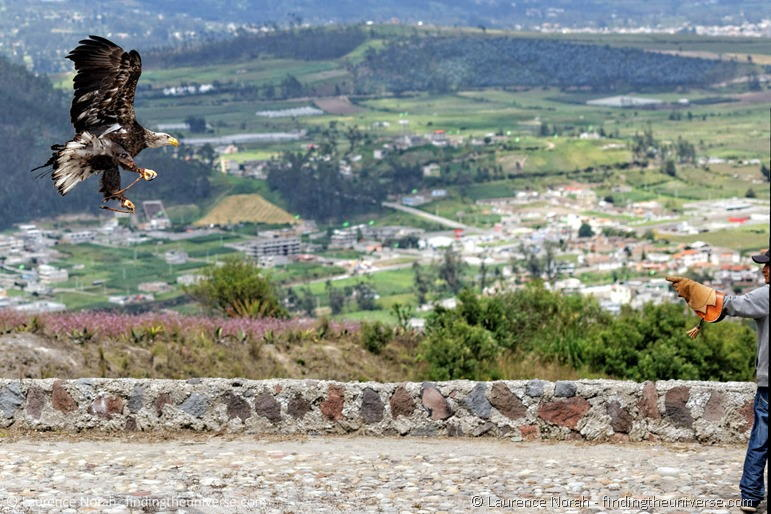Eagle landing Otavalo scaled