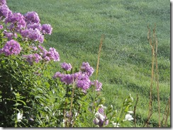 Phlox and Spider Web