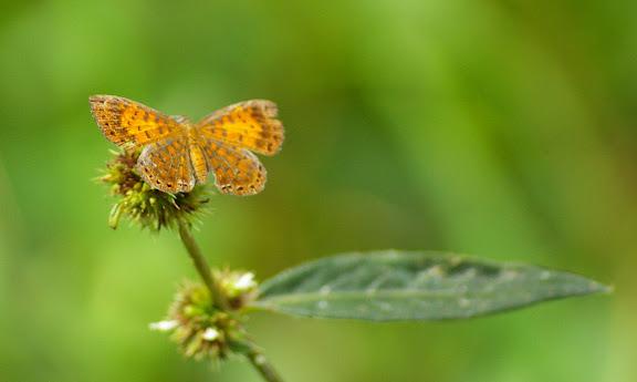 Riodinidae : Calospila lucianus FABRICIUS, 1793 (?), femelle. . Saut Athanase (Guyane). 21 novembre 2011. Photo : J.-M. Gayman