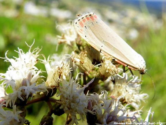 Erebidae : Arctiinae : Callimorphini : Utetheisa ornatrix (LINNAEUS, 1758), femelle. Pitangui (MG, Brésil), 20 mai 2012. Photo : Nicodemos Rosa