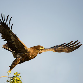 Take Off - Steppe Eagle by Angad Achappa - Animals Birds ( flight, animals, nature, birds, birds in flight )