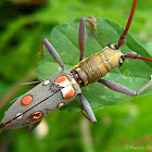 Long-Horned Beetle