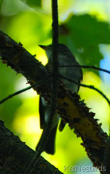 4. wood pewee-kab