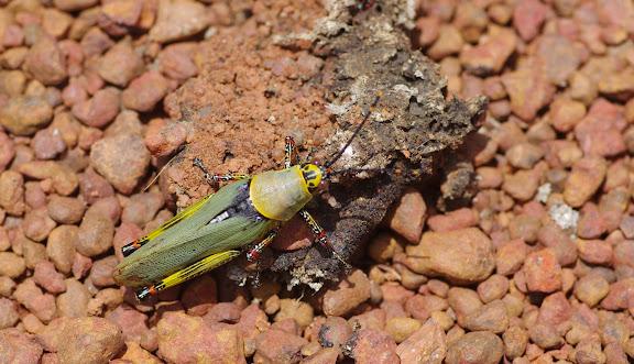 Orthoptère : Acrididae : Zonocerus variegatus LINNAEUS, 1758, sur la piste d'Ebogo. Cameroun, 8 avril 2012. Photo : J.-M. Gayman