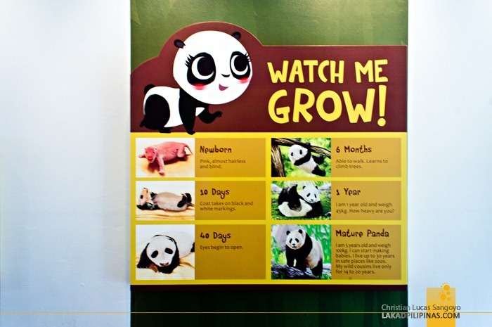 How a Panda Grow at Singapore's Giant Pandas