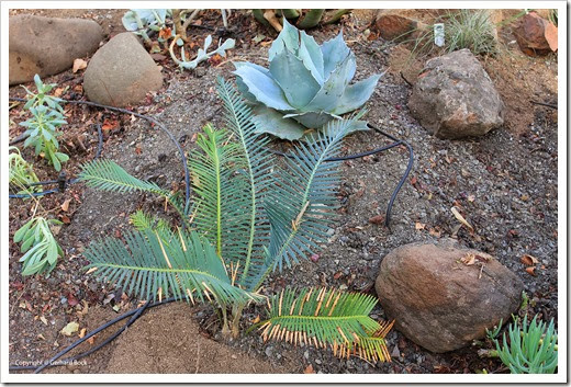 131007_driveway_succulent_bed_after_14