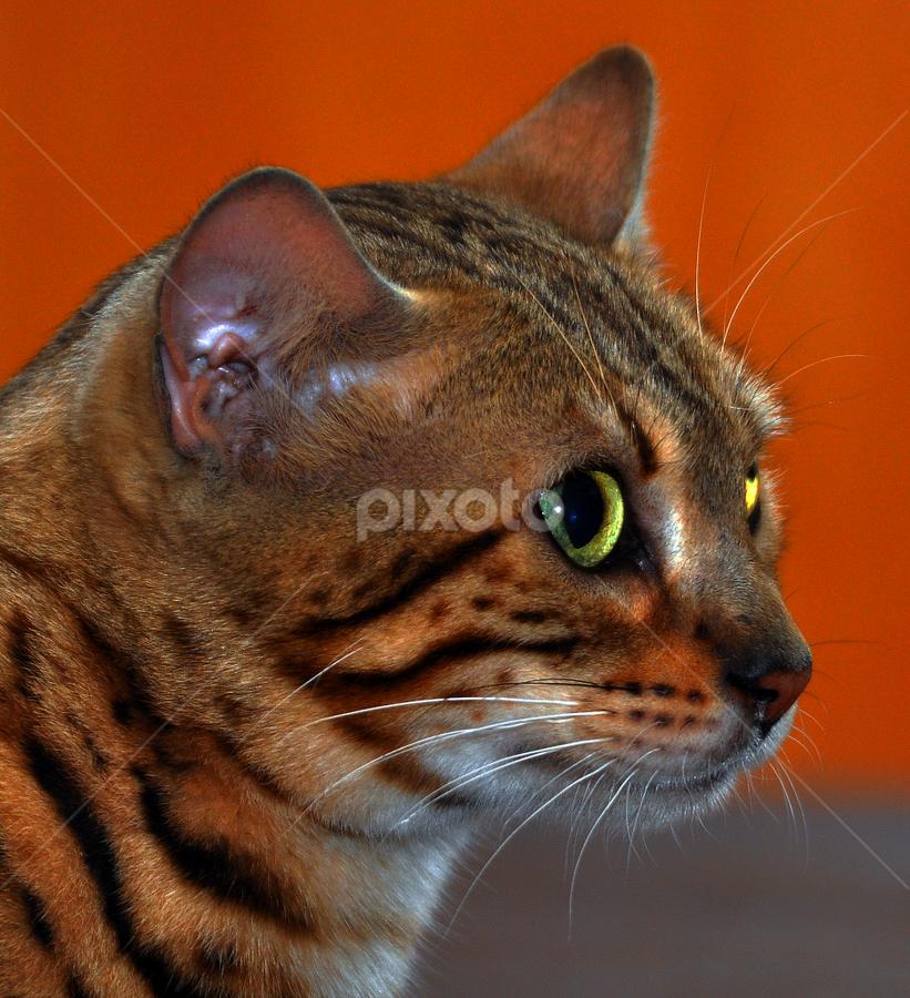 by Cacang Effendi - Animals - Cats Portraits ( cats, cattery, kitten, chadra, animal )