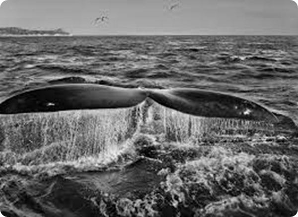 salgado balena
