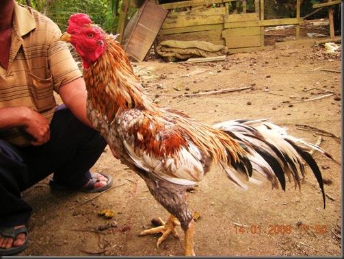Tips Cepat Membuat Badan Ayam Bangkok Aduan Menjadi Merah