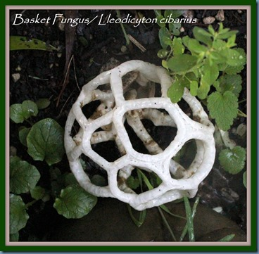 Basket Fungus named