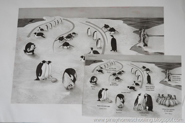 Life Cycle of Penguins