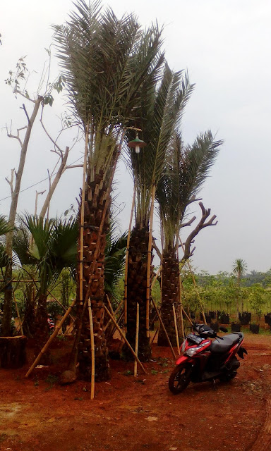 Gambar tanaman palm korma terdekat harga murah
