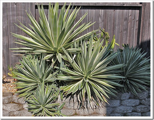 111107_candy_agave-angustifolia