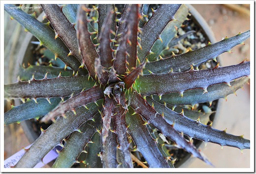 130915_Dyckia-Cherry-Coke_01