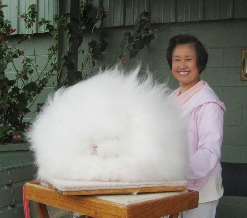 angora-rabbit-3
