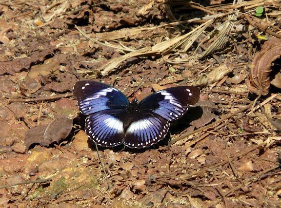Hypolimnas salmacis DRURY, 1773, mâle. Atewa Hills (Ghana), 28 décembre 2009. Photo : J. F. Christensen