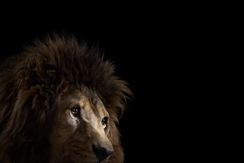 animal-photography-affinity-Brad-Wilson-lion-2.jpeg