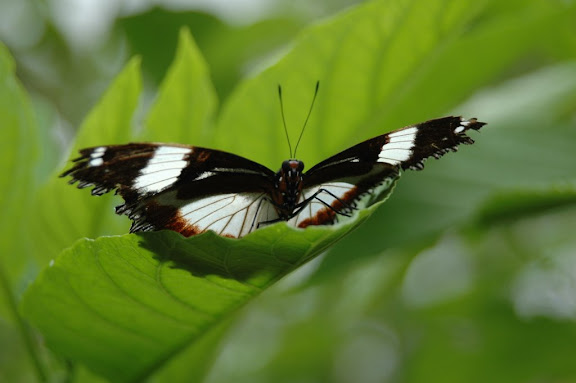 Hypolimnas dexithea HEWITSON, 1863, endémique. Madagascar, 17 mai 2008. Photo : Jean-Marie Beauloye