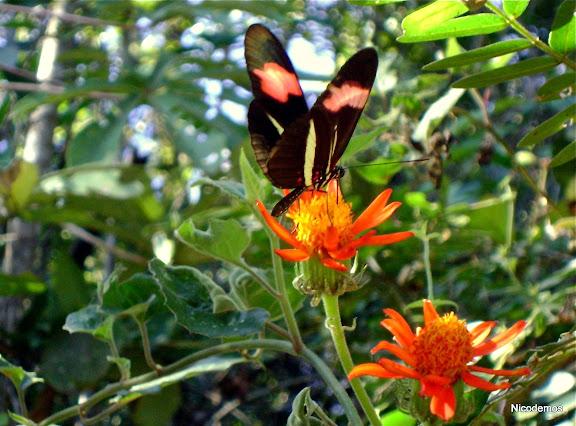 Heliconius erato phyllis (FABRICIUS, 1775). Pitangui (MG, Brésil), 20 juin 2010. Photo : Nicodemos Rosa