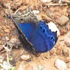 Eastern Blue Beauty