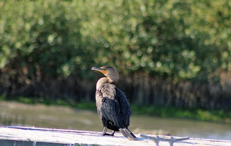 double crested cormorant SP 2013