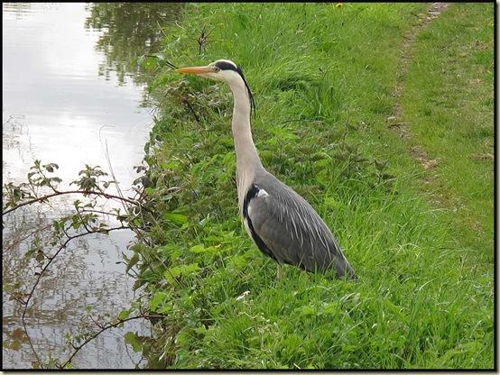 A nonchalant heron