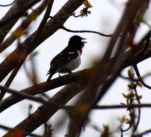 5. rosebreasted grosbeak-kab