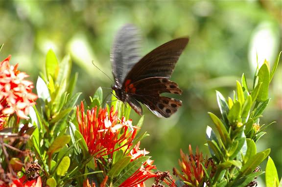 Papilio memnon memnon LINNAEUS, 1758, mâle. Gomantong, 14 août 2011. Photo : J.-M. Gayman