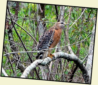 08 - Animals - Red Shouldered Hawk 2