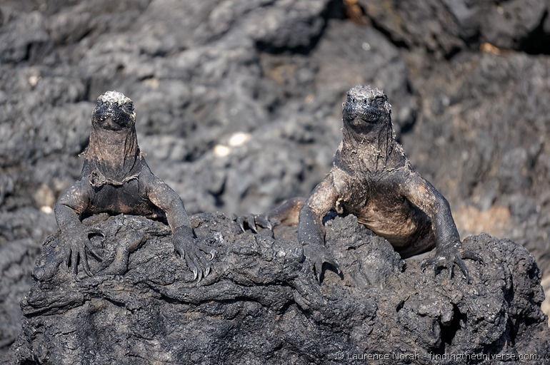 Two marine iguanas on a rock Galapagos