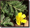 Silverweed close-up