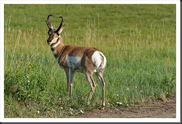 2011Jul31_Custer_State_Park_pronghorn
