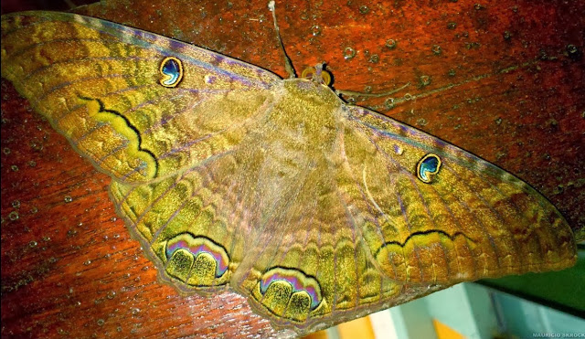 Ophiderinae : Ascalapha (Erebus) odorata (L., 1758). Environs de Curitiba (Paraná), 25 octobre 2013. Photo : Mauricio Skrock