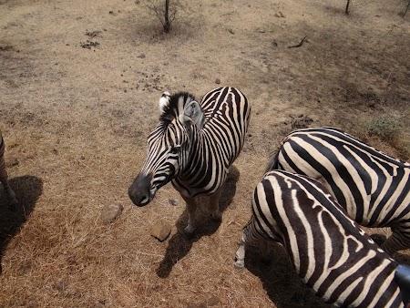 Zebre in Mauritius