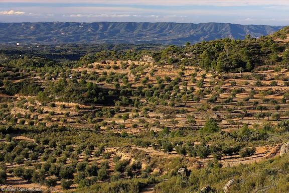 Camps d'oliveres,La Palma d'Ebre, Ribera d'Ebre, Tarragona