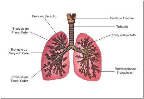 bronquios y traquea